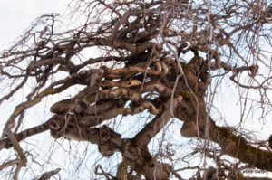 Research methods and Camperdown Elm trees
