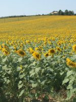 Christian Fiction Scavenger Hunt sunflowers